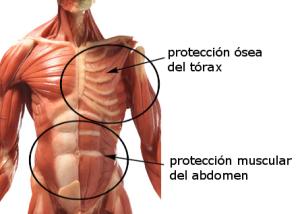 El tórax está protegido por huesos, pero el abdomen se protege tensando los músculos abdominales